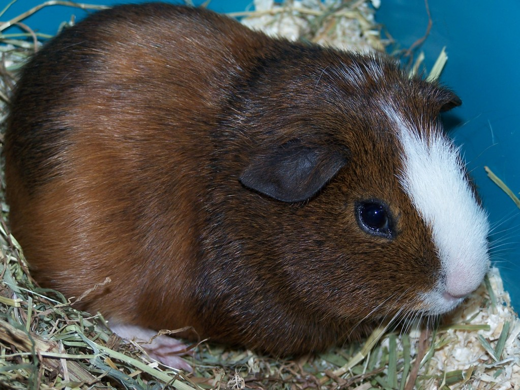 how to call a guinea pig